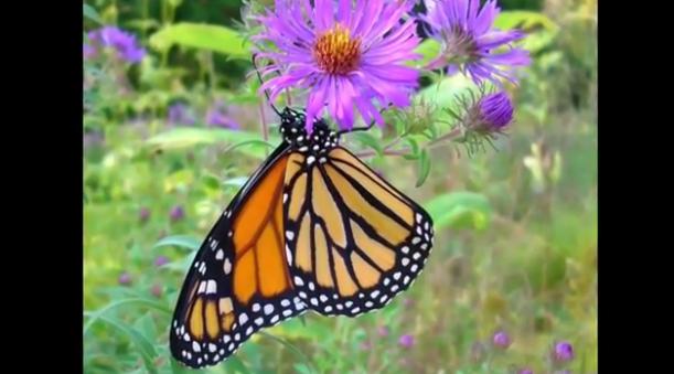 Conserving Monarch Butterflies