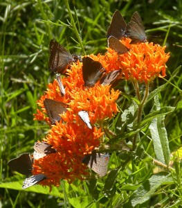 Butterflies on Butterfy Weed / Photos by Ilse Gebhard and Russ Schipper