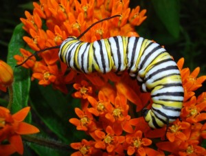 Monarch caterpillar on Butterfly Weed / Photos by Ilse Gebhard and Russ Schipper