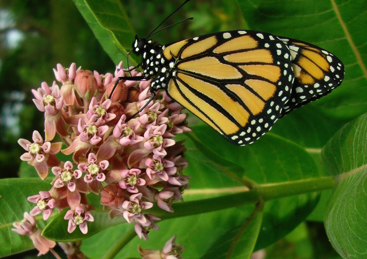 Michigan conservationists aim to lift monarch populations