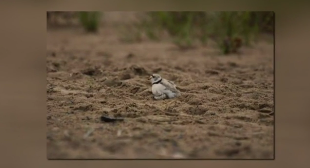 Protecting the Piping Plover