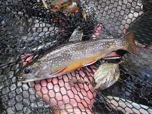 Michigan's state fish, brook trout require higher water quality than other species of trout. (PHOTO CREDIT: Josh Zuiderveen)
