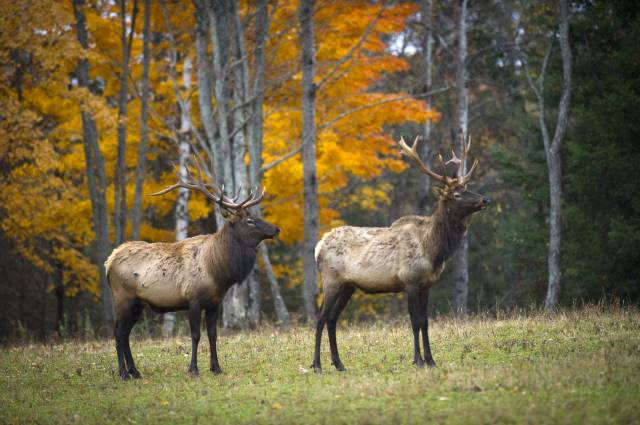 Michigan's Elk in fall
