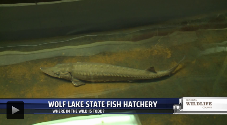 Hundreds of thousands of fish raised and released at Wolf Lake State Fish Hatchery