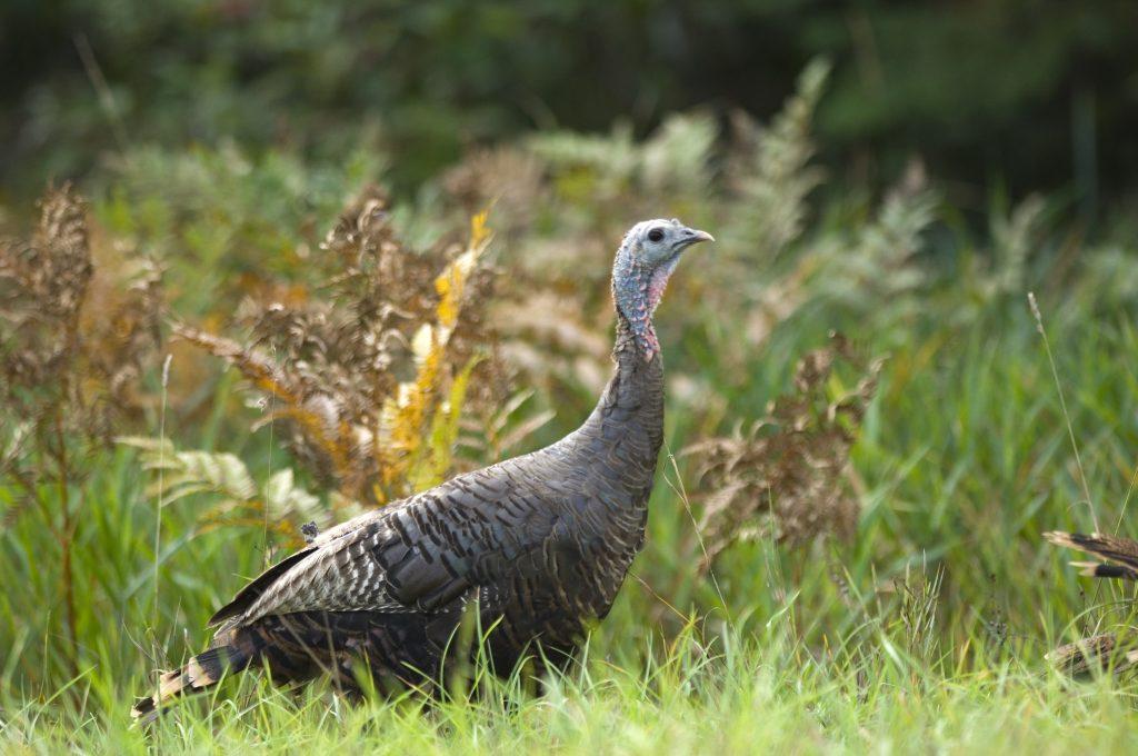 Female wild turkey