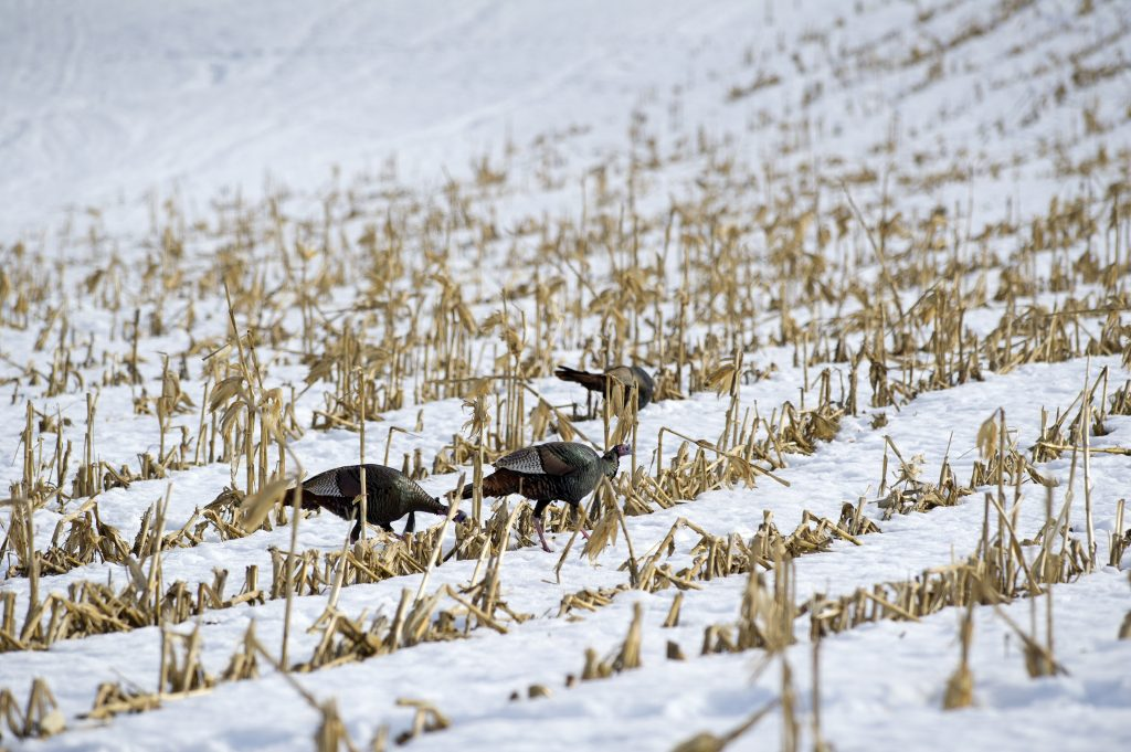 Group of wild turkey grazing in a winter field