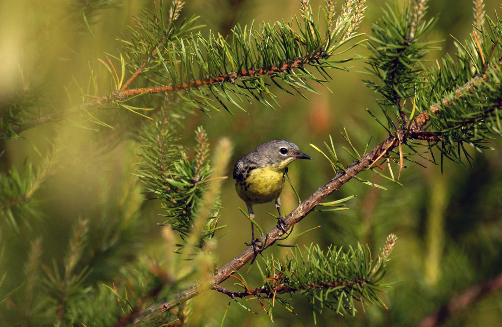 Kirtland's Warbler in its natural habitat