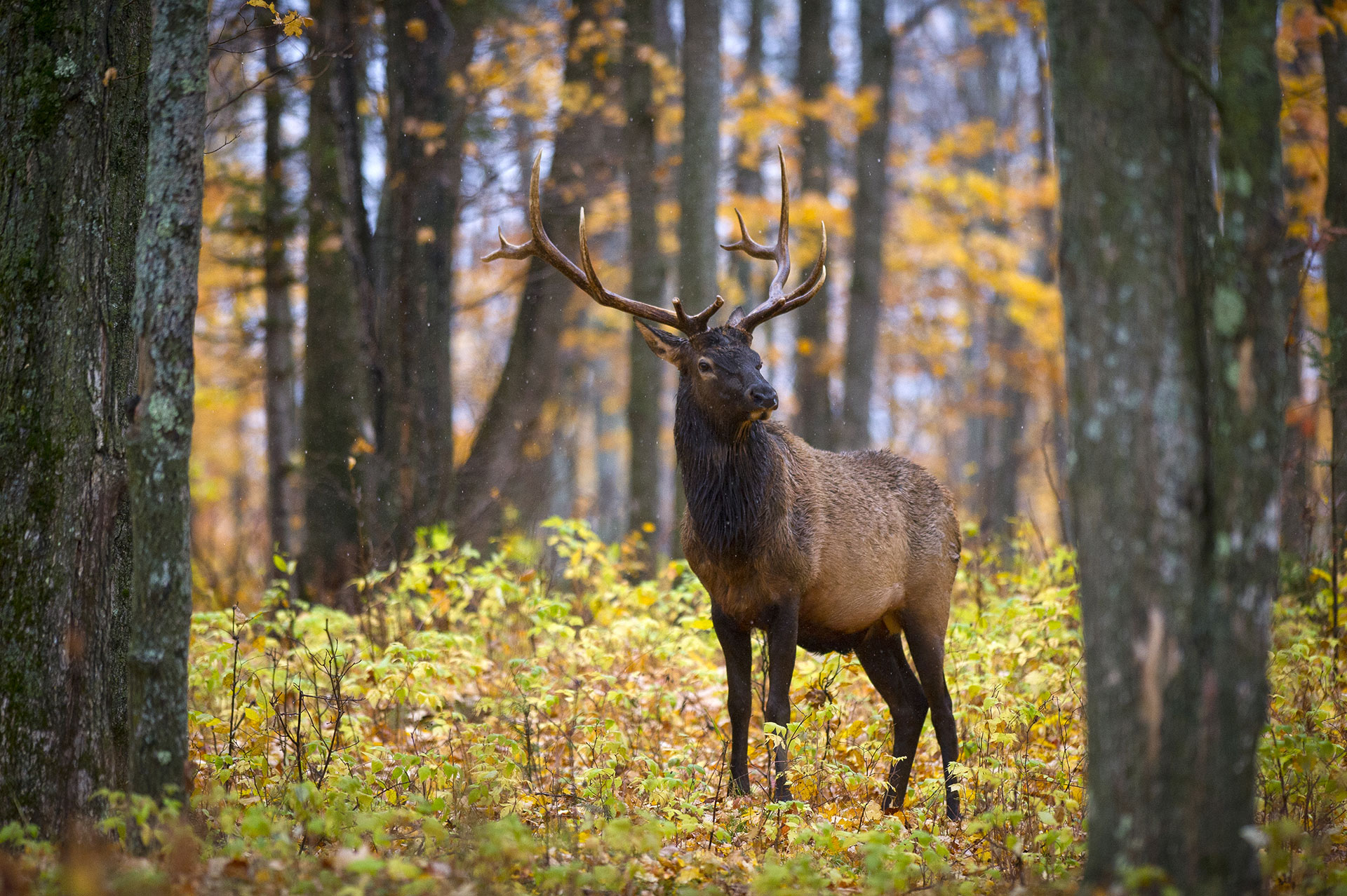 Elk benefit from the Wildlife Habitat Grant through conserving their habitat