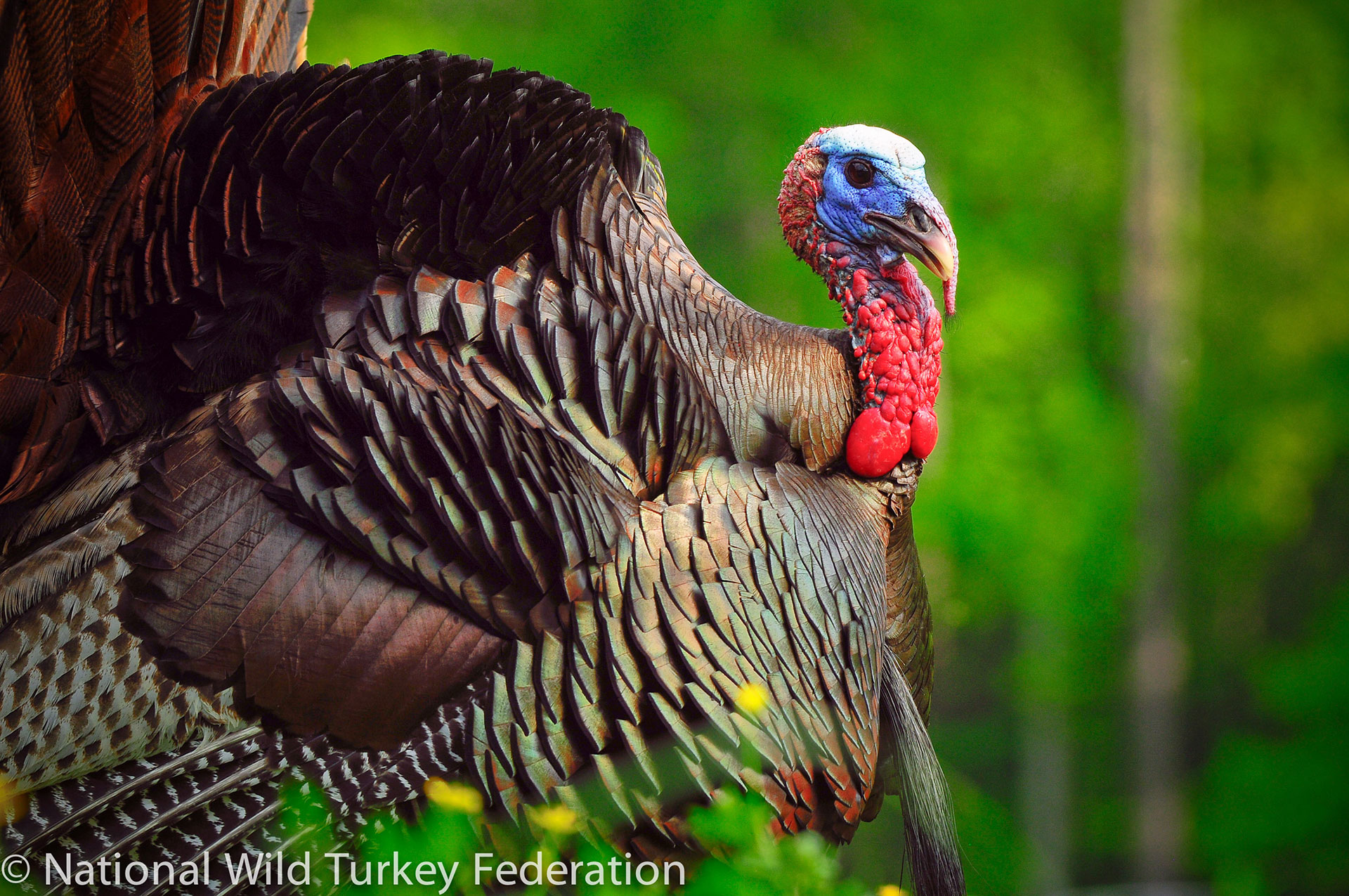 Wild Turkey are making a comeback in the D