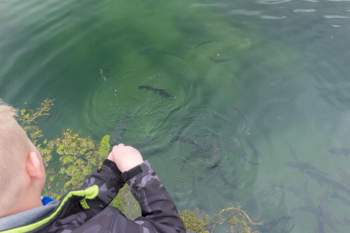 Feeding the Fish at Wolf Lake State Fish Hatchery
