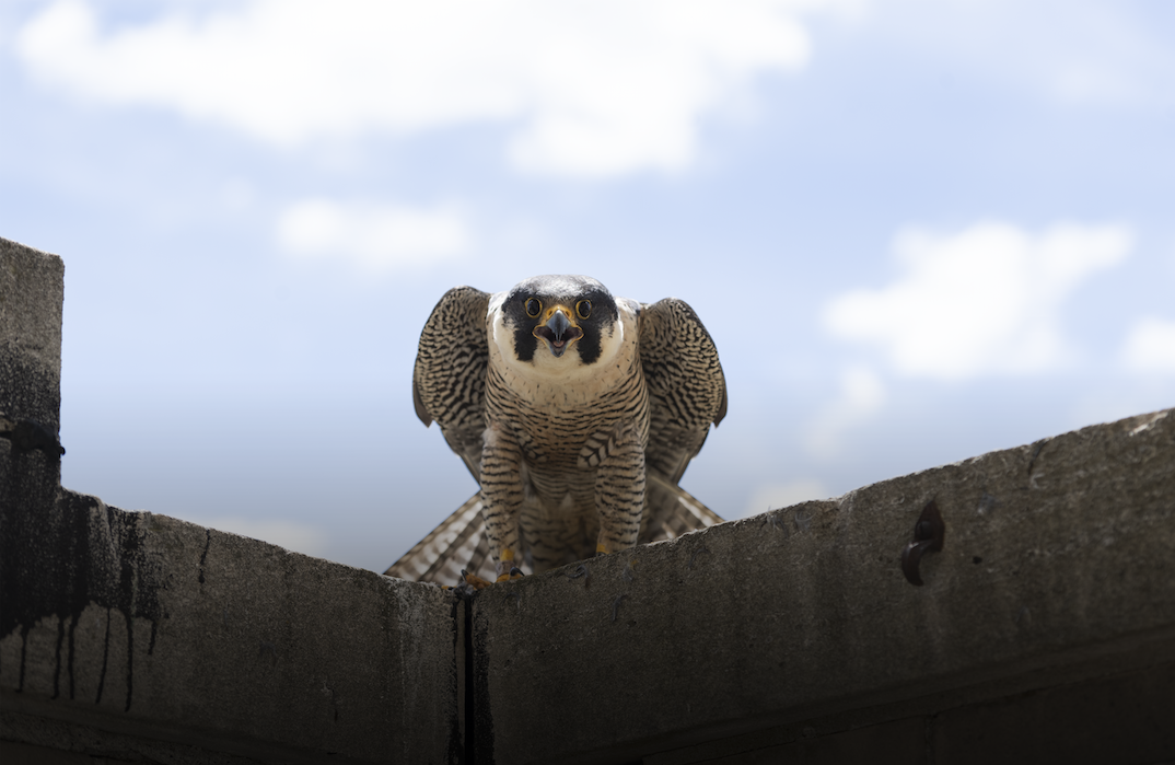 Peregrine Falcon perched on building ledge