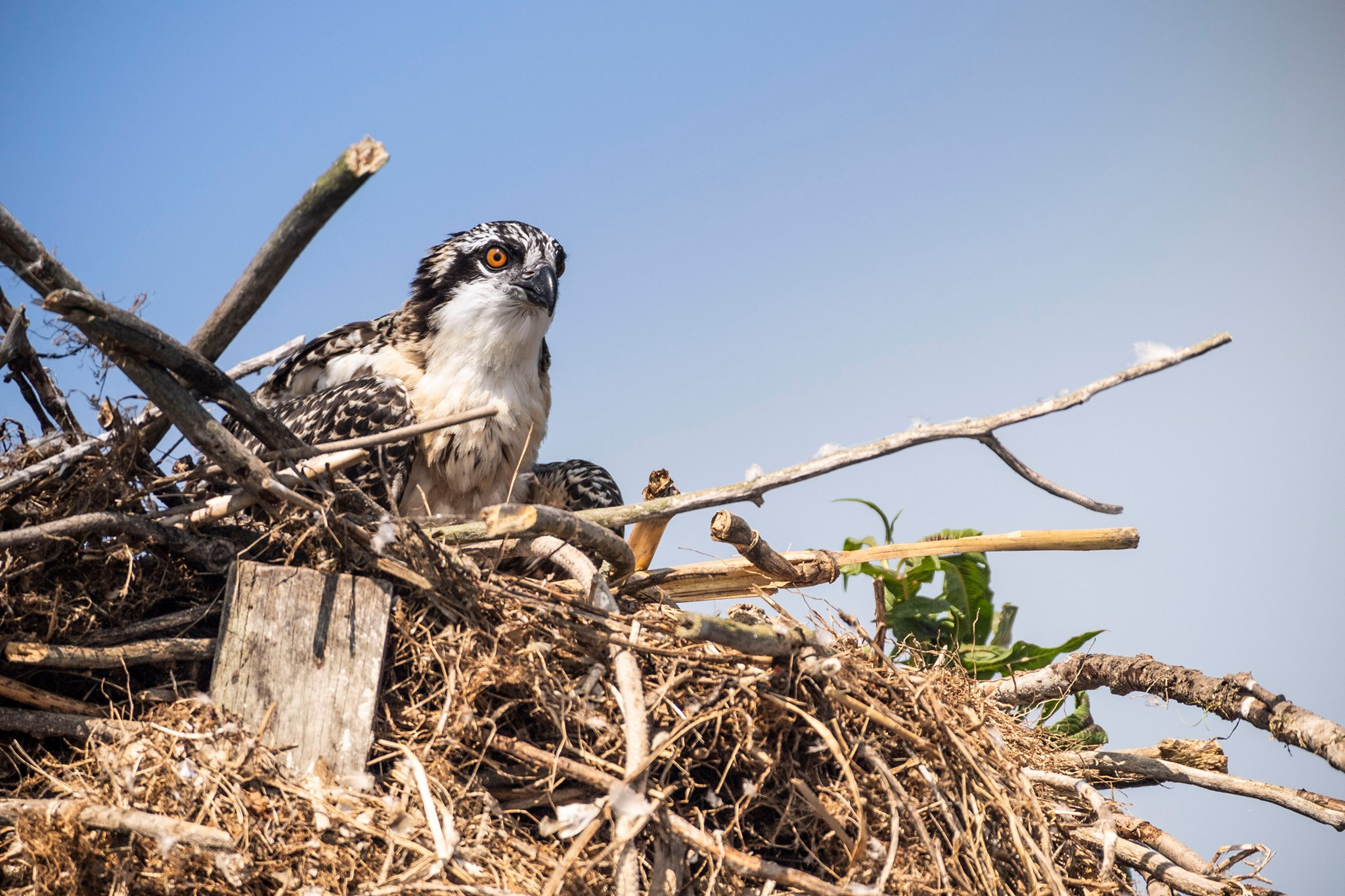 Osprey perched in nest