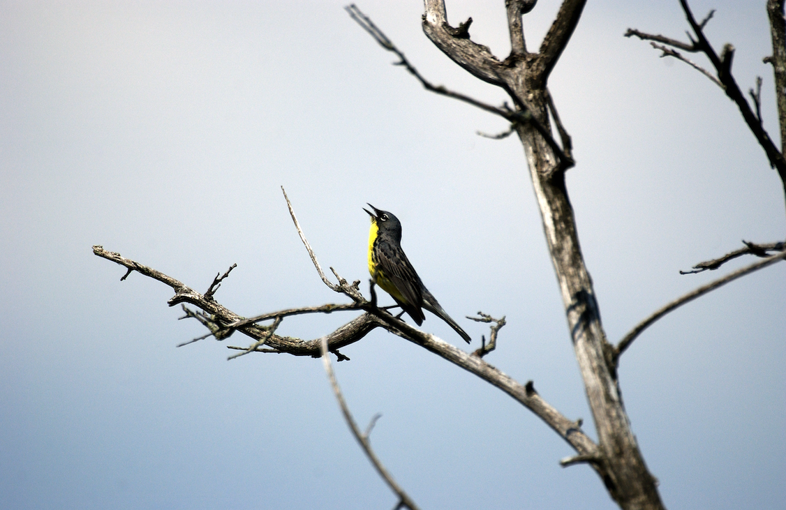 Kirtland's warbler perched on a tree
