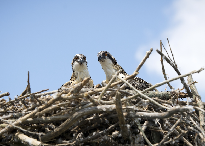 Two osprey in a nest