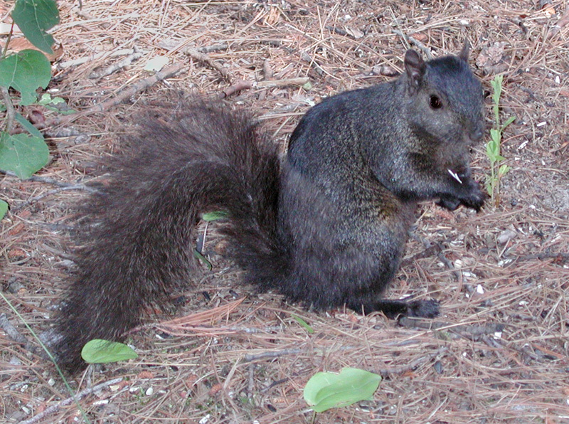 Eastern gray squirrel perches on the ground