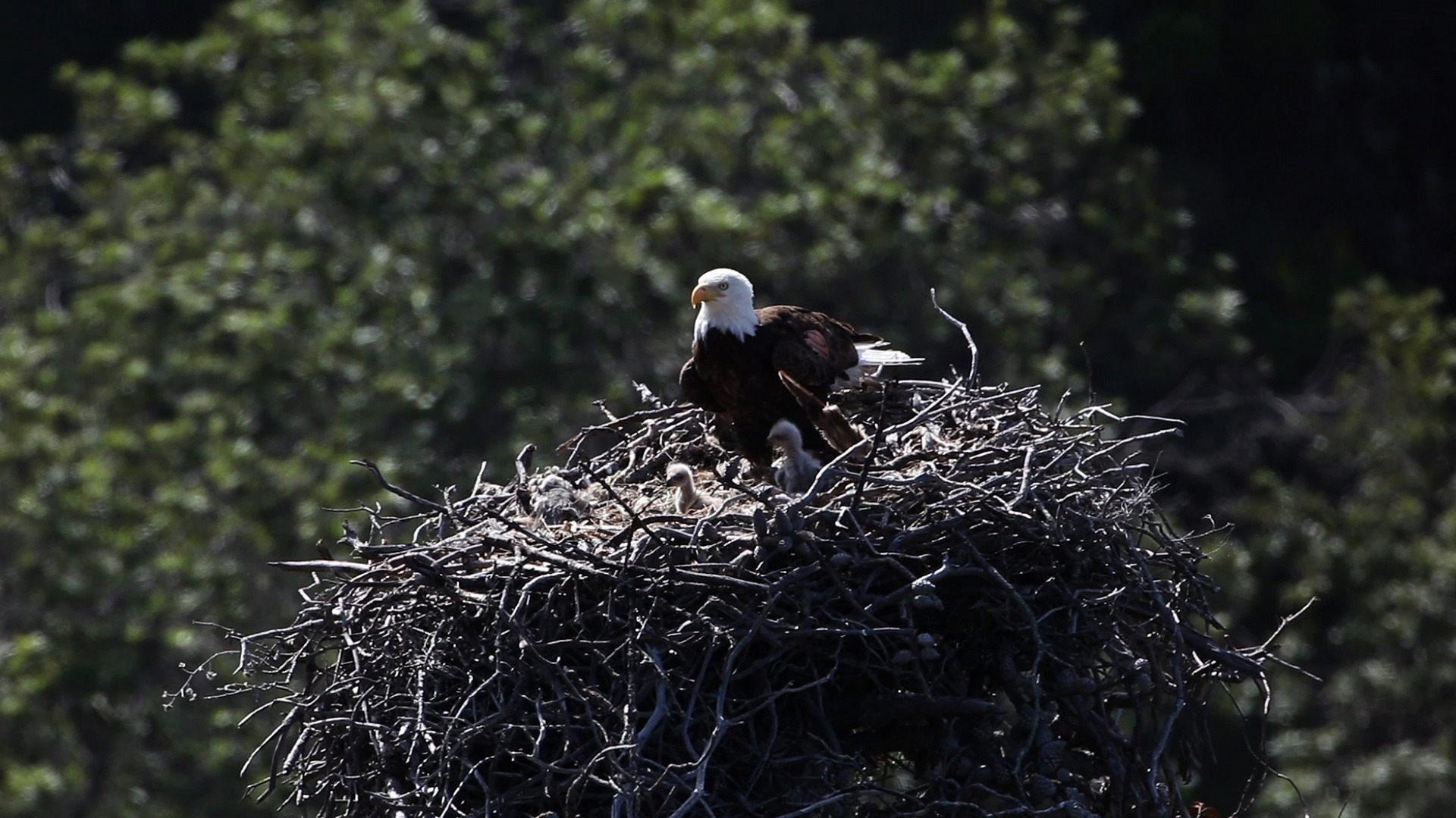 Bald eagle perched in a large nest