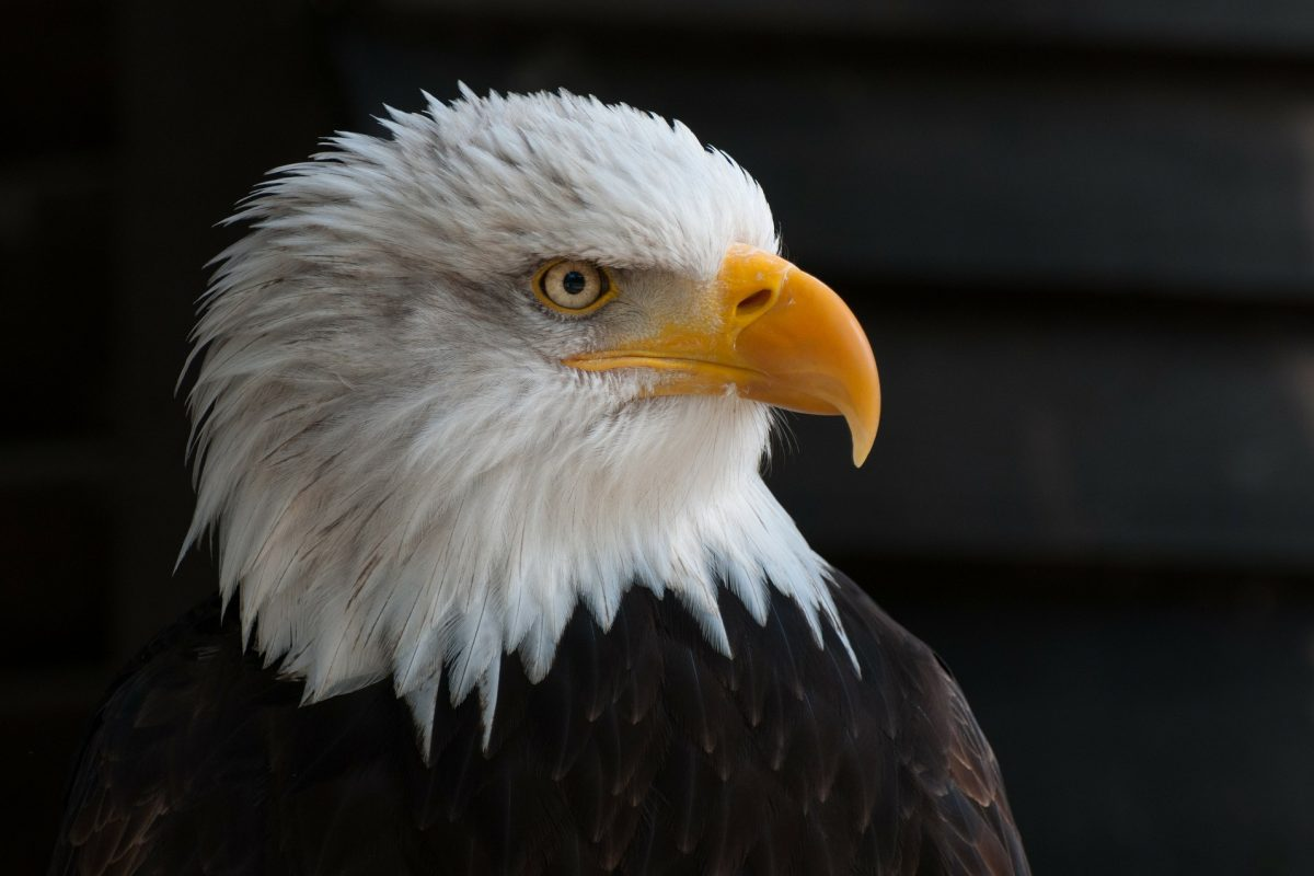 Side profile of a bald eagle