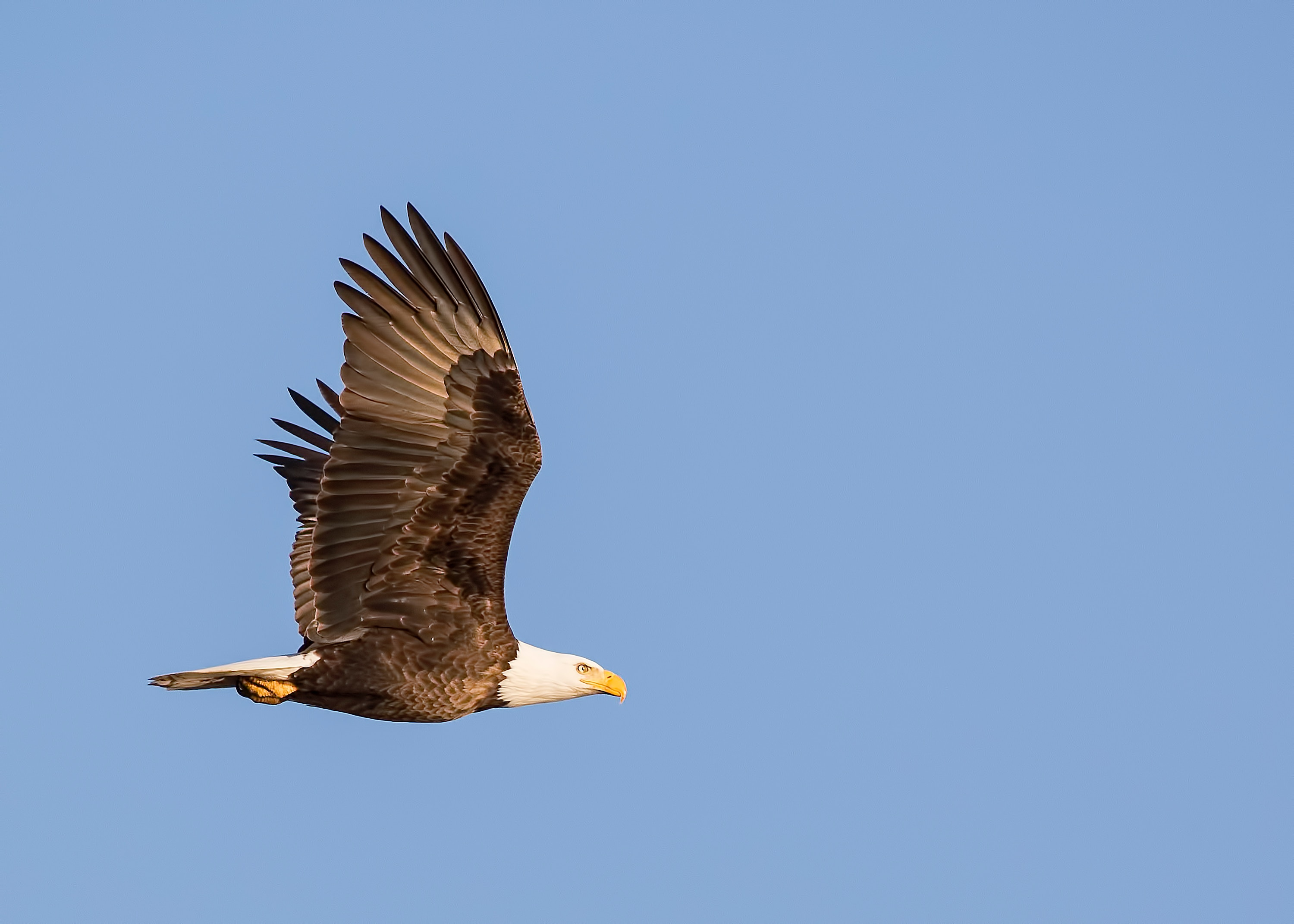 Bald eagle soaring through the air with a clear blue sky
