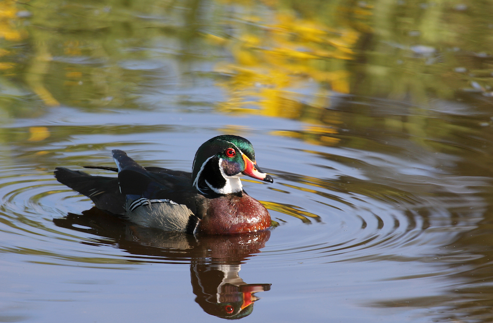Wetlands royalty: Meet the wood duck, Michigan's regal-looking waterfowl
