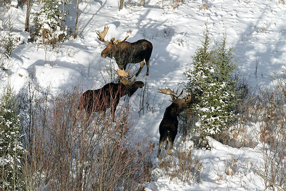 Aerial photo of three moose standing in the snow