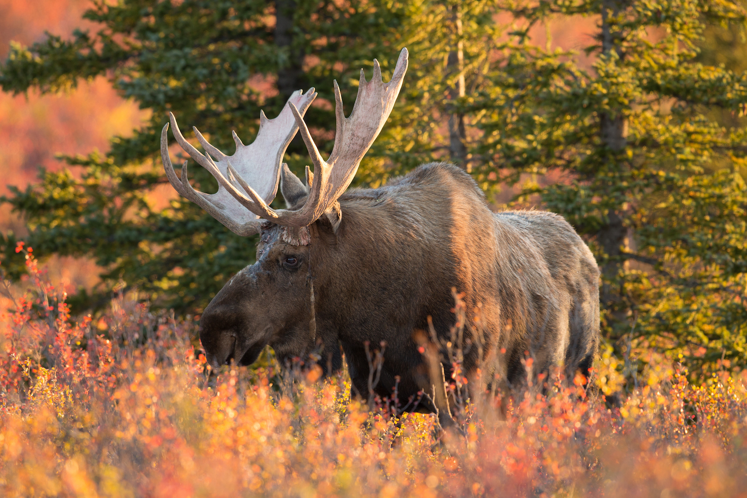 Magnificent moose: The comeback story of Michigan's Upper Peninsula herd