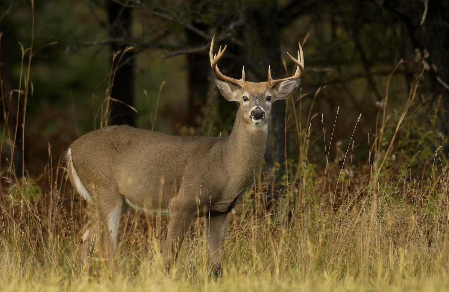 A male white-tailed deer stands in a field