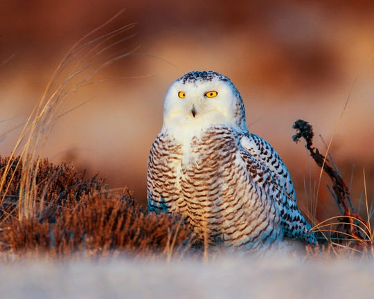 Snowy owl perched on ground