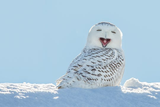 Snowy Owl perched on snow