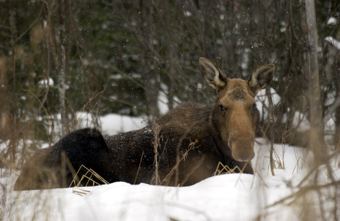 Female moose lays in the snow