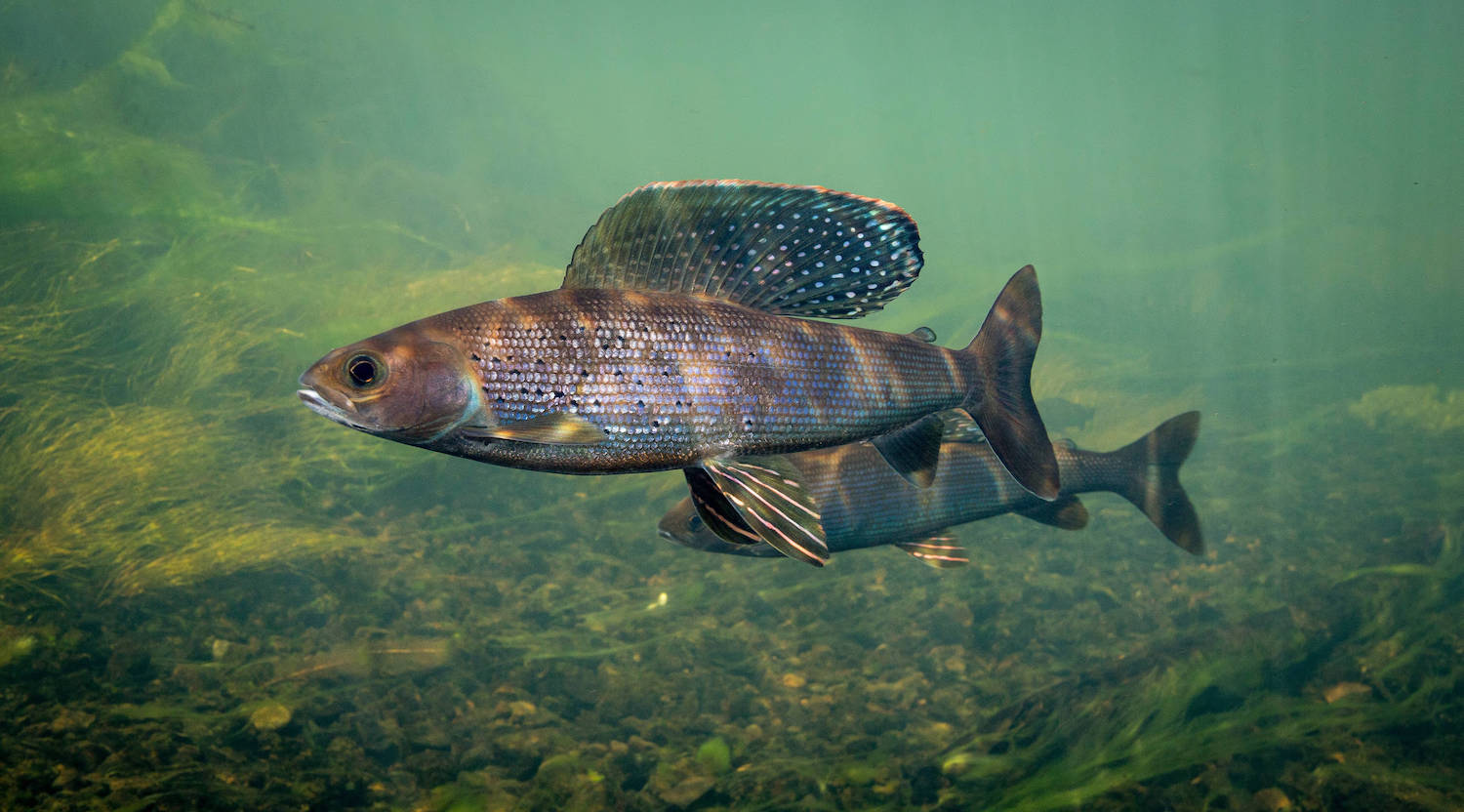 Side view of a grayling