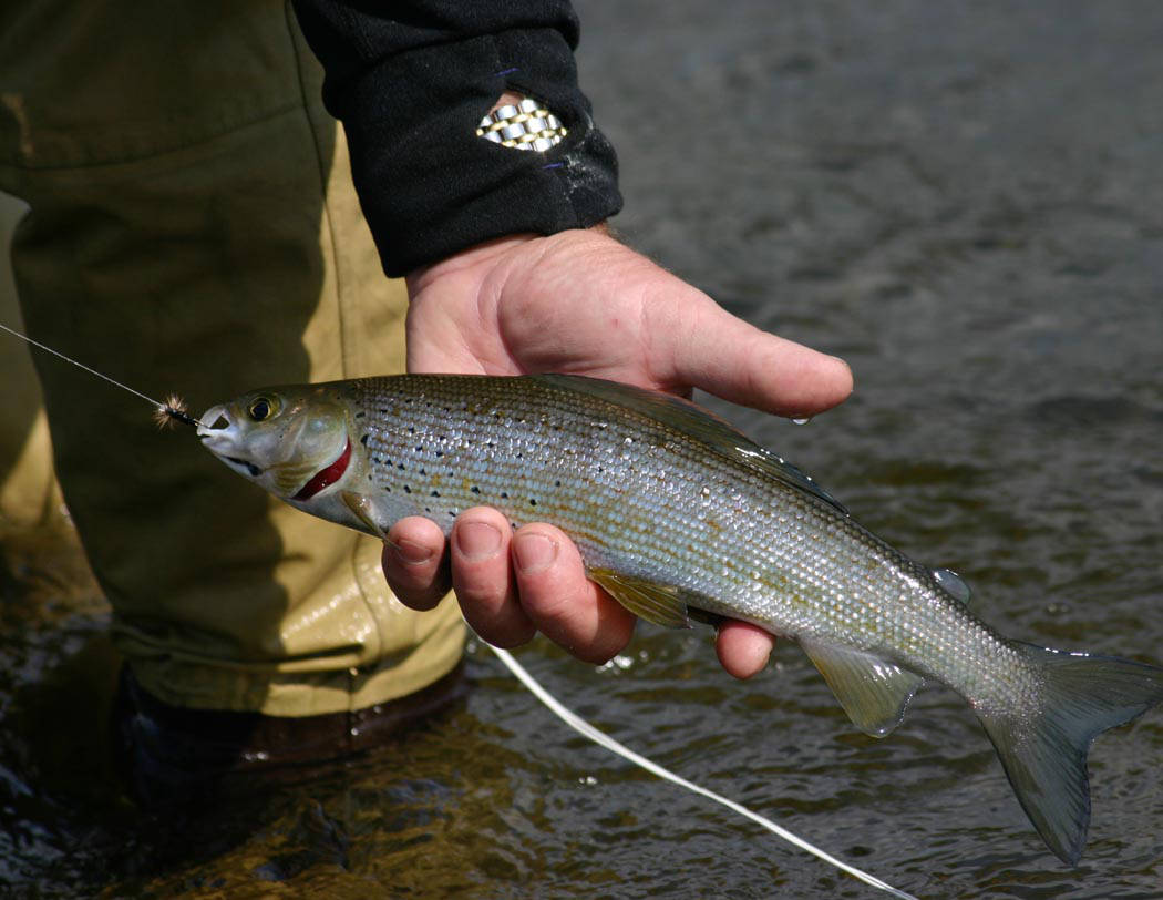 A grayling caught in Alaska in a man's hand