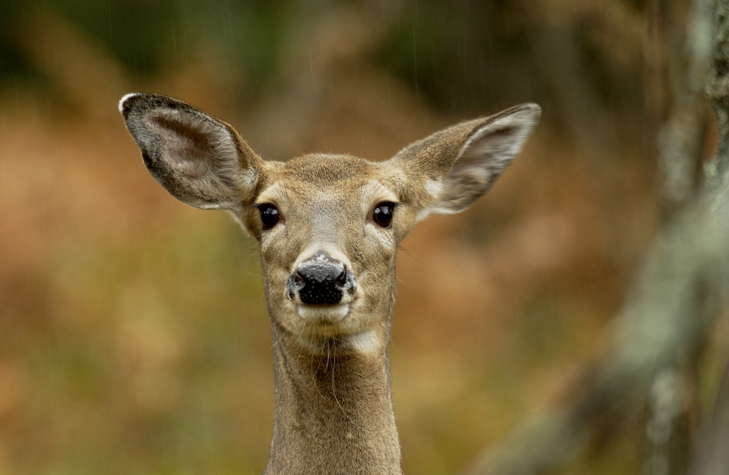 A young female deer looks straight ahead