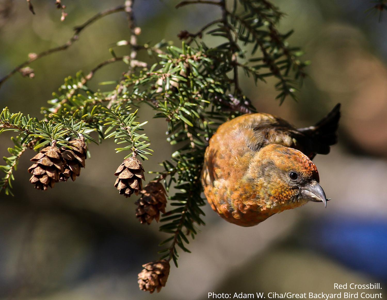 Red Crossbill (Bird) perching on a tree.