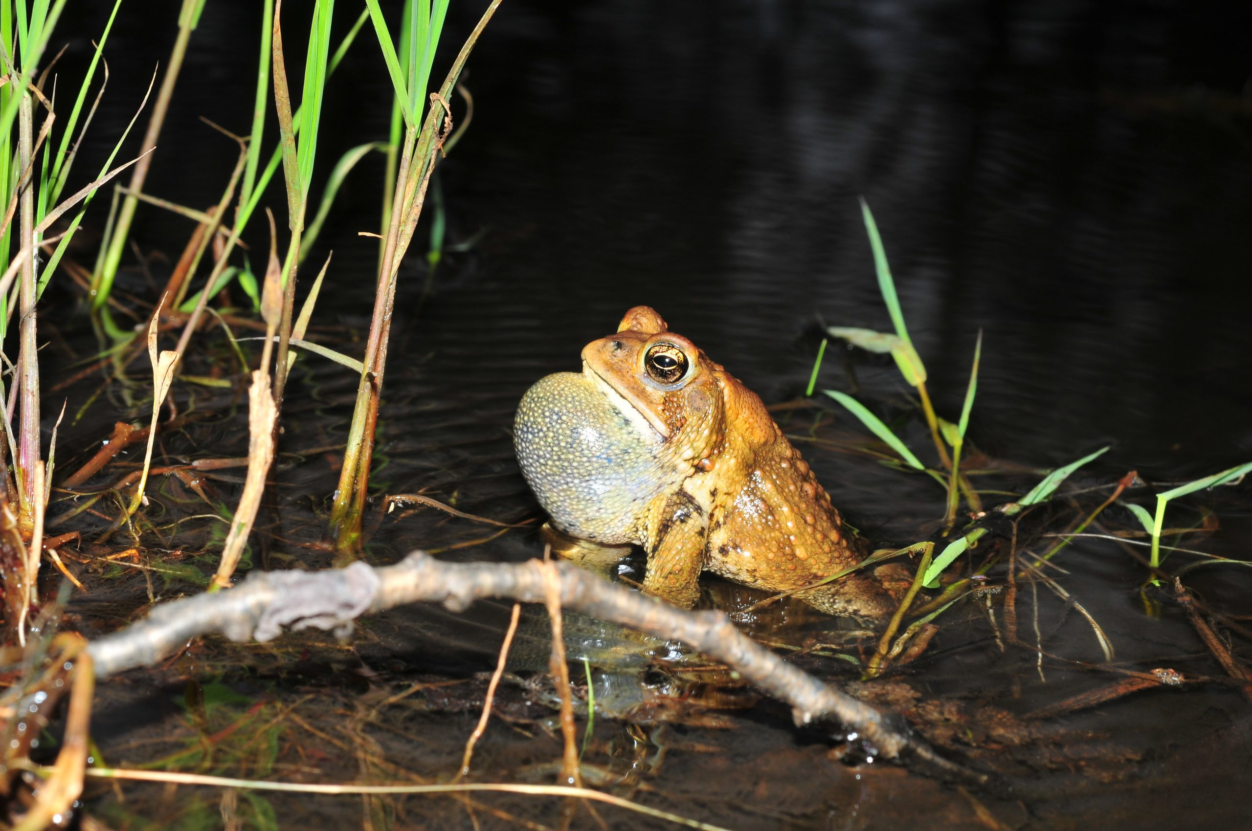 An American Toad stands in shallow water