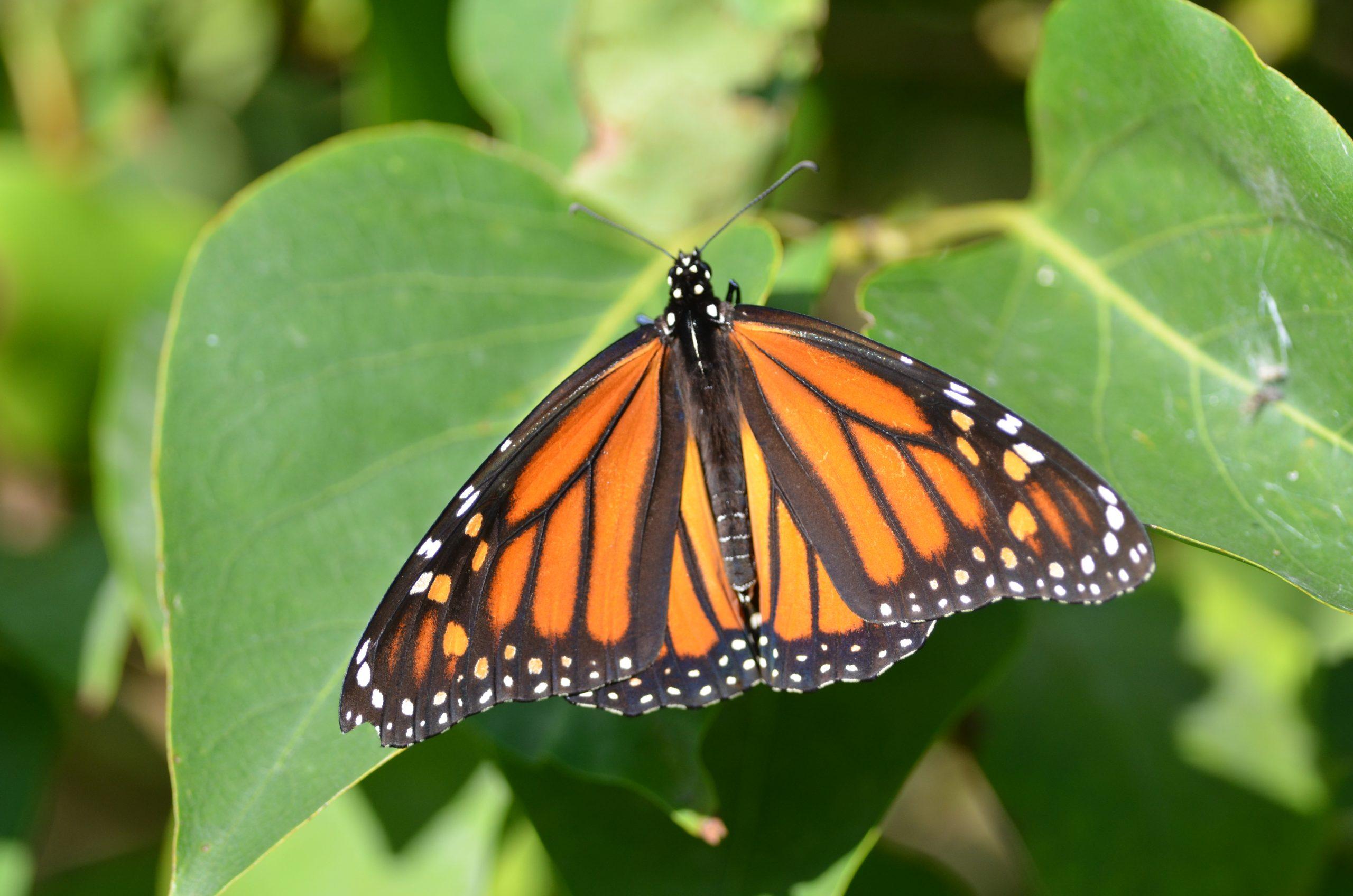 A birds-eye view of a monarch butterfly