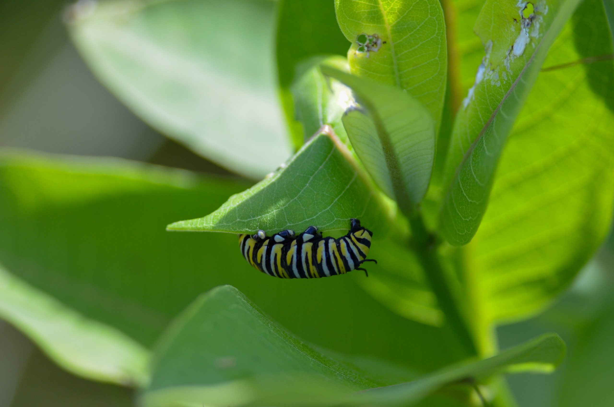 Anyone can pitch in to help nurture Michigan's monarch butterfly population