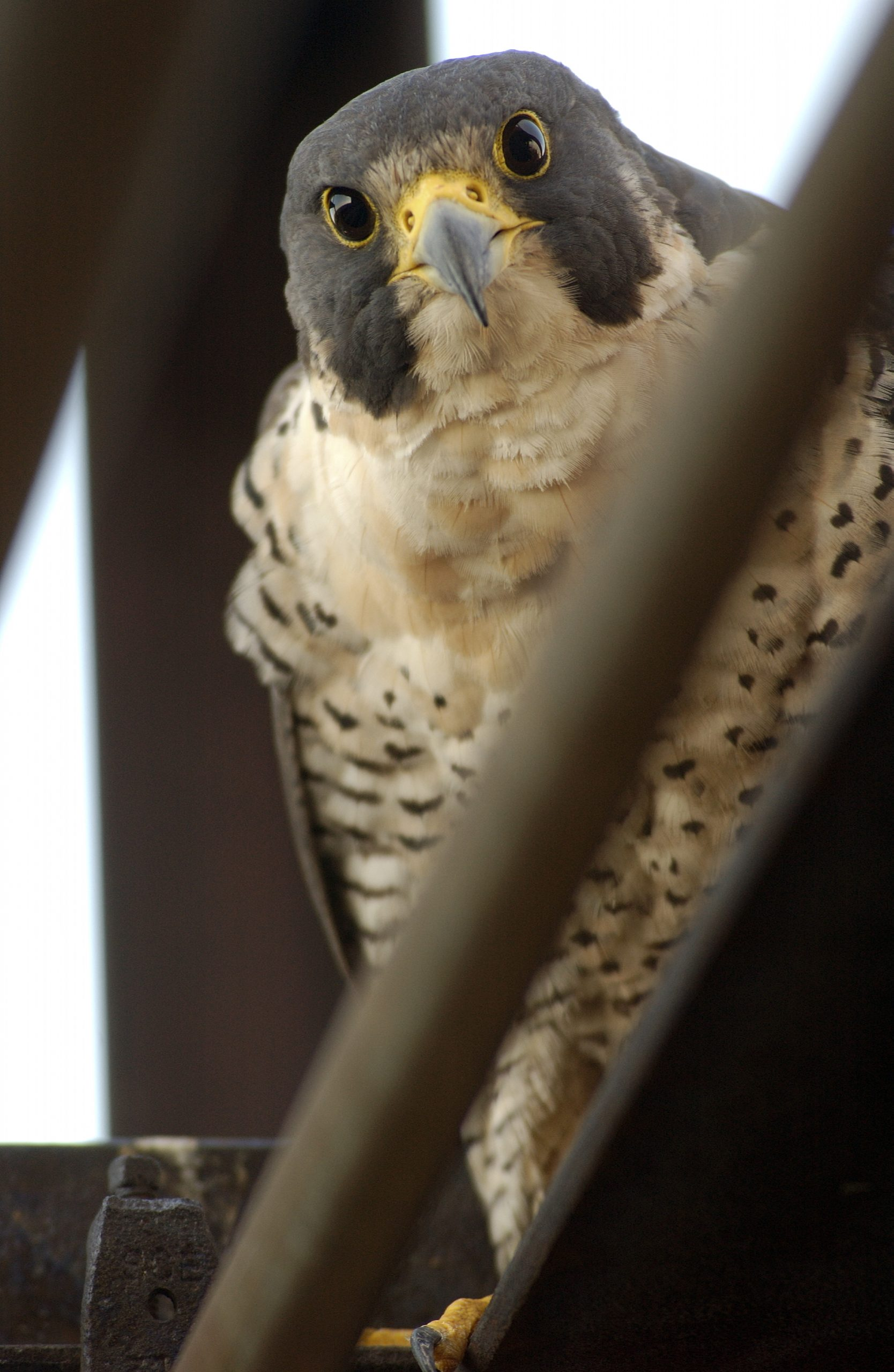A peregrine falcon stares into the camera from above.